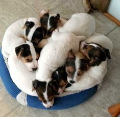 snuggled jrt---I think I count 8 but it's a little tough to tell for sure:-)