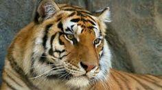 Resultado de imagen de tiger