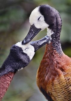 Lovey ducky    Two White-faced Whistling Ducks show some mutual admiration at the San Diego Zoo.