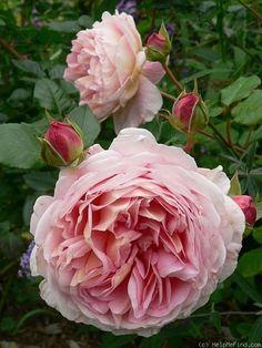 'Abraham Darby ' Rose Photo