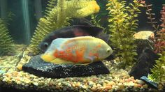 Oscar Fish Laying Eggs While Male Fertilizes Them - See the Eggs Being L...