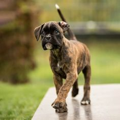 Boxer Dog Breed, Boxer Dog Puppy, Boxer Mom, Boxer And Baby, White Boxer Puppies, Cute Dogs And Puppies, Baby Dogs, I Love Dogs, Baby Animals Pictures