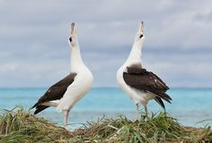 laysan-alabatross-sky-pointing-in-courtship-dance-_w3c7311-sand-island-midway-nwr