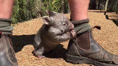 After a heartbreaking start to life, things are finally looking up for George the wombat. In fact, slowing him down now seems like the biggest challenge! Cute Wombat, Baby Wombat, Wombat Pictures, Beautiful Creatures, Animals Beautiful, 4 Month Old Baby, Australian Animals, Fluffy Animals, Cute Funny Animals