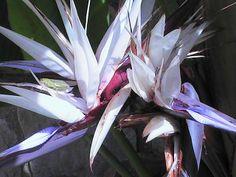 Super white bird of paradise plant landscape ideas Exotic Flowers, Purple Flowers, White Flowers, Beautiful Flowers, Birds Of Paradise Plant, Birds Of Paradise Flower, Landscaping Plants, Garden Plants, Amazing Gardens