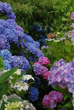 Love Hydrangea plants