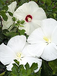 Name: Hibiscus moscheutos hybrid 'Crystal Ball' Growing Conditions: Full sun Size: To 5 feet tall Zones: 5-9 Grow It With: Roses