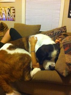 Big dogs that think they are lap dogs. I wish I had a Saint Bernard! Funny Dogs, Cute Dogs, Funny Animals, Cute Animals, Baby Animals, Wild Animals, Love My Dog, Lap Dogs, Dogs And Puppies