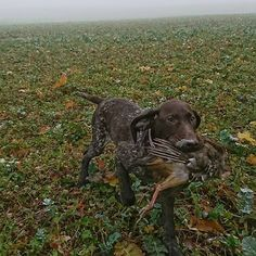Des nouvelles de N'DIOR d'An Naoned 📯 💖 à la Chasse 🐦 Perdreau à l'age de 4 mois 👍 Femelle Braque allemand née le 31/08/17 (GAIAC d'An Naoned x LEOPOLD Vom Hundegelaut) 📷 Mr Rodrigues Rei et Mme Rolland  #braqueallemand #gsp #germanshorthairedpointer #deutschkurzhaar #gspoftheday #birddogoftheday #birddog #gundog #perdreau #chasse #hunting #jagd #dog #dior #hund #cani #pet #doglove #huntinglife #partridge #rebhühner #охо́та #dogportrait #dogmasternews #cute #ndior