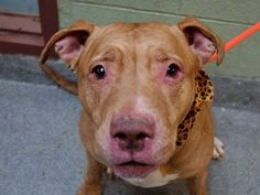 SAFE!!! SUPER URGENT Manhattan Center ***NEW PHOTO*** My name is SADIE. My Animal ID # is A1023469. I am a spayed female brown pit bull mix. The shelter thinks I am about 6 YEARS old. I came in the shelter as a OWNER SUR on 12/18/2014 from NY 10473, owner surrender reason stated was COST. https://www.facebook.com/Urgentdeathrowdogs/photos/a.923640547648825.1073743305.152876678058553/926947187318161/?type=3&theater