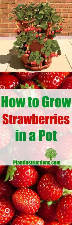 grow strawberries in a pot