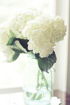 white hydrangeas. ..