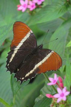 Rusty-tipped Page (Siproeta epaphus)