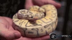 (gif) Snake Yawning