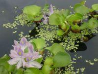 vodní hyacint