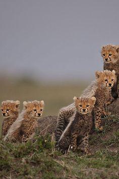 Cheetah Cubs, Maasai Mara National Reserve, Kenya