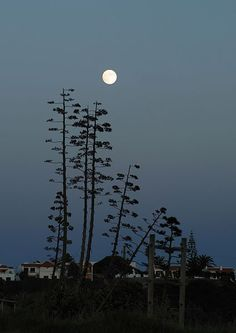 The full moon at the end of the day, against flowers of Agave americana. Porto Covo, Portugal | Photo: Alvesgaspar | License: CC BY-SA 3.0 https://creativecommons.org/licenses/by-sa/3.0/deed.en
