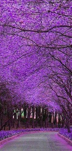 Jacaranda Tree Lane / Beauty of nature / purple / violet / flowers / Beautiful World, Beautiful Places, Beautiful Pictures, Trees Beautiful, Beautiful Gorgeous, All Things Purple, Purple Stuff, Amazing Nature, Belle Photo