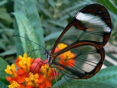 Glasswinged Butterfly. The gorgeous Greta oto, also known as the Glasswinged butterfly, is an enchanting species that confounds science. The butterfly's wings are transparent, with a span of 5.6 to 6.1 cm (2.2 to 2.4 in). Adults range from Mexico through Panama and Colombia They also fly through Florida. Follow AmiPlanet on pinterest.com/AmiPlanet/
