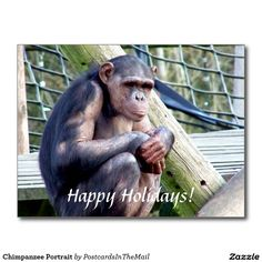 Chimpanzee Portrait Postcard