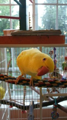 Sunny the Indian Ringneck baby