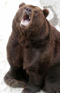 The Kamchatka Brown Bear