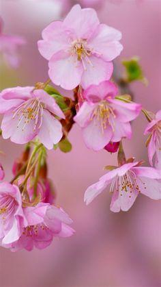 Cherry blossom 桜 サクラ