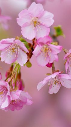 Cherry blossom  Symbolizes: -end of difficult period -new beginnings -fragile/short time periods