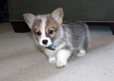 This adorable corgi puppy will make you happy. Dogs are incredible creatures. Cute Funny Animals, Cute Baby Animals, Animals And Pets, Cute Puppies, Cute Dogs, Dogs And Puppies, Poodle Puppies, Teacup Puppies, Dachshund Puppies