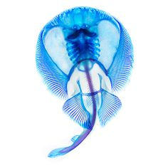 Electric Ray The glycerine-encased specimen is then posed on a colour corrected LED light table and left for several hours to setPhotograph:...