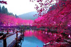 i ciliegi in fiore