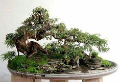 Wondering How Bonsai Trees Are Made? Bonsai Tree Care, Bonsai Art, Bonsai Plants, Bonsai Trees, Garden Terrarium, Bonsai Garden, Tamarindus Indica, Bonsai Forest, Dwarf Trees