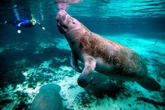 Swimming with manatees in Belize!!