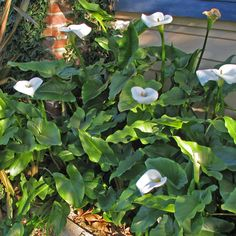 Zantedeschia aethiopica Colorful Flowers, White Flowers, Zantedeschia Aethiopica, Tree Stakes, Patio Trees, Plants Delivered, Creamy White, Light Shades, Evergreen
