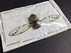 Common Cicada Insect Taxidermy - dried unmounted - entomology specimen collection - bugs artwork supply