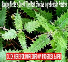 Stinging nettle is one of the most effective herbal remedies for solving prostate problems. It can help reduce the size of the enlarged porstate by different mechanisms. This article discusses the active phytochemicals in nettle and how they work to help improve prostate health, help benign prostatic hyperplasia and help prevent prostate cancer.