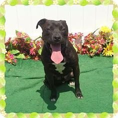 Pictures of HOWIE see also SKIP a American Pit Bull Terrier Mix for adoption in Marietta, GA who needs a loving home.