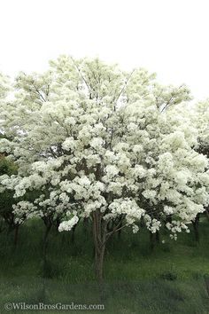 Buy Chine Fringe Trees - FREE SHIPPING - Chionanthus retusus For Sale From Wilson Bros Gardens Online Dogwood Trees, Trees And Shrubs, Trees To Plant, Fringe Tree, Garden Online, Regions Of Europe, Soil Ph, Large Plants, Garden Soil