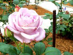 Rose in the Rose Garden at The Ringling Museum in Sarasota, Florida