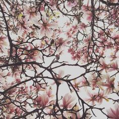 #magnolias#magnoliahype by frankoniangirl