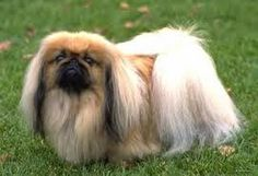 The Pekingese probably has spitz blood, but its origin is lost in the shadows of a tour-thousand-year history. For many centuries the Pekingese was the favorite of the imperial family in Peking. Toy Dog Breeds, Cute Dogs Breeds, Small Dog Breeds, Small Dogs, Yorkies, Pekingese Puppies, Fu Dog, Dog Cat, Lap Dogs