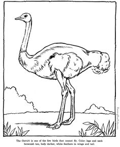 Ostrich coloring book page - Zoo animals