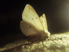 the white moth