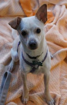 Meet Billy, a Petfinder adoptable Chihuahua Dog | Auburn, WA | Billy is a 2 year old male Chi / Terrier mix, about 9 pounds. LONG legs and active. Would love to...