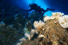 Aranhas do mar bombeiam o sangue usando suas entranhas