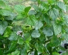 Lime Mint - Culinary mint variety with large dark green leaves and tall upright growth habit. Citrus-lime scent and flavor. Good tea mint or served with fruit punch, margarita's or other drinks.