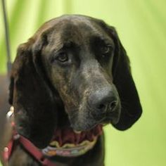 Candice is an adoptable Plott Hound Dog in Toledo, OH. All Planned Pethood dogs and puppies are altered (spayed/neutered) and fully vetted prior to adoption.
