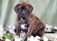 This family raised English Mastiff puppy will be sure to brighten your day! She is a very social, sweet puppy who will make a wonderful addition to your Brindle English Mastiff, English Mastiff Puppies, Mastiff Dogs, English Mastiffs, Mastiff Puppies For Sale, Puppies Puppies, Cute Puppies, Big Dogs, I Love Dogs