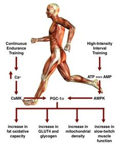 A look at the science of high-intensity interval training. The fitness industry is seeing a surge of interest in high-intensity interval training (HIIT), a burst-and-recover cycle that can offer a viable alternative to continuous aerobic exercise. HIIT, w Endurance Workout, Endurance Training, Strength Training, Hiit, Ems Trainer, Burst Training, Exercise Physiology, Muscle Function, Hard Workout