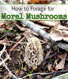 Morel Mushroom season is here! If you've never foraged for these delicious beauties, let me show you how! Learning how to forage for your food is a fantastic way to help cut your grocery bills!